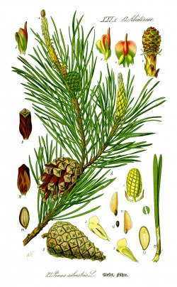 Illustration_Pinus_sylvestris0_new copy 2